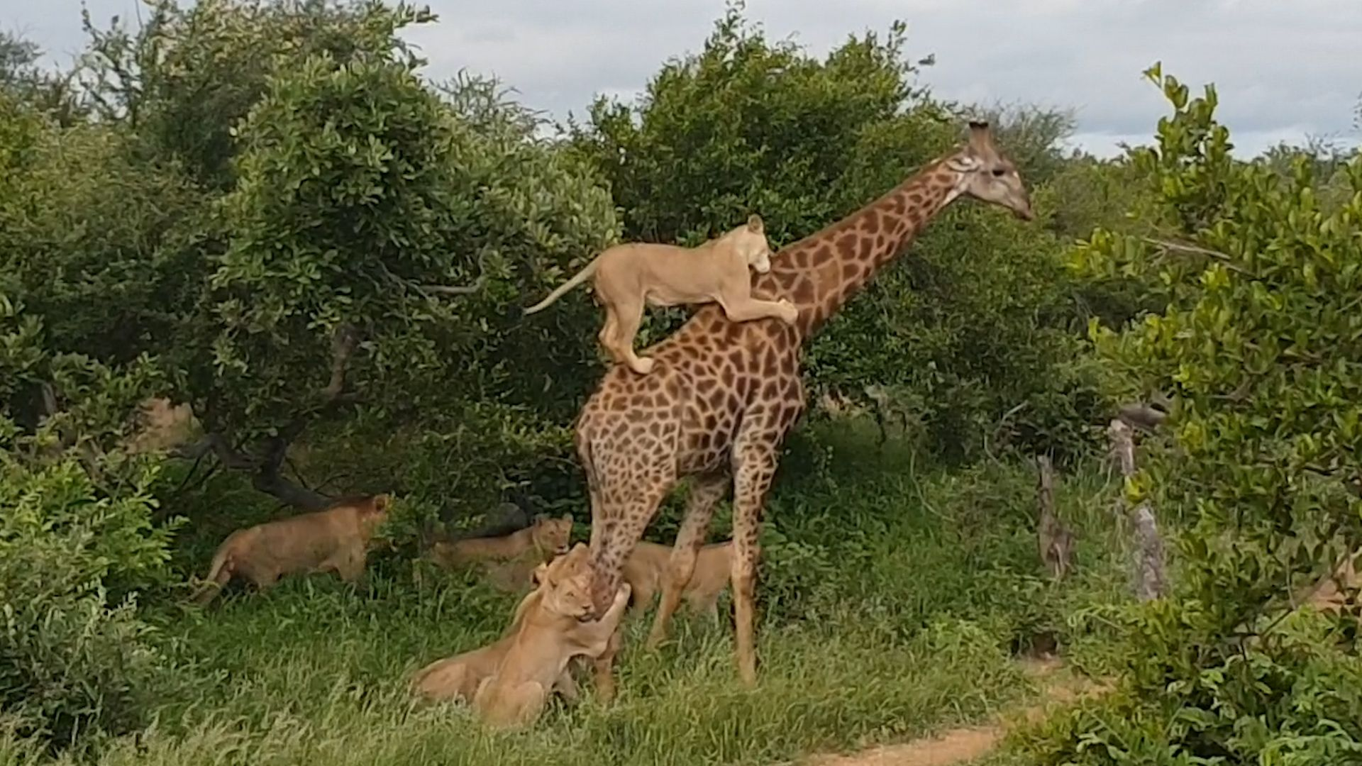Video shows lion pride try to slay a full-grown giraffe