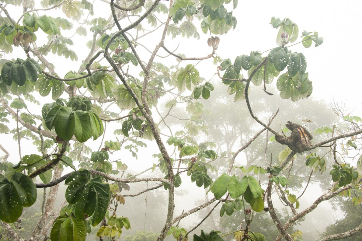 Snapped in Panama's Soberanía National Park, this image of a brown-throated three-toed sloth netted its photographer ...