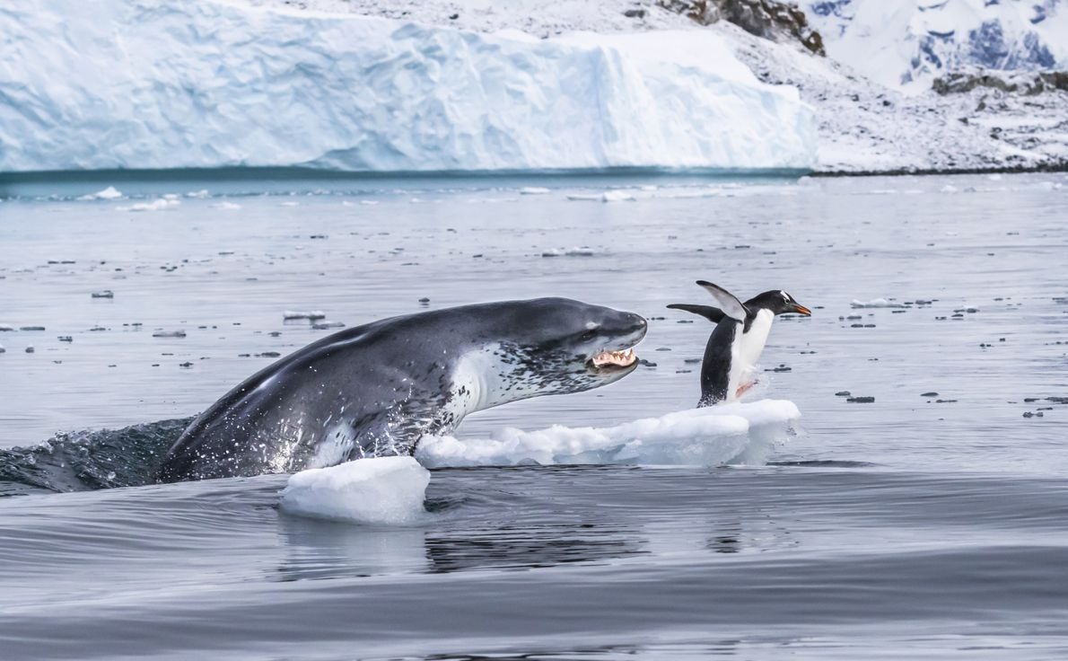 Impressively timed and dramatic, this leopard seal caught the penguin unawares with an ambush off the ...
