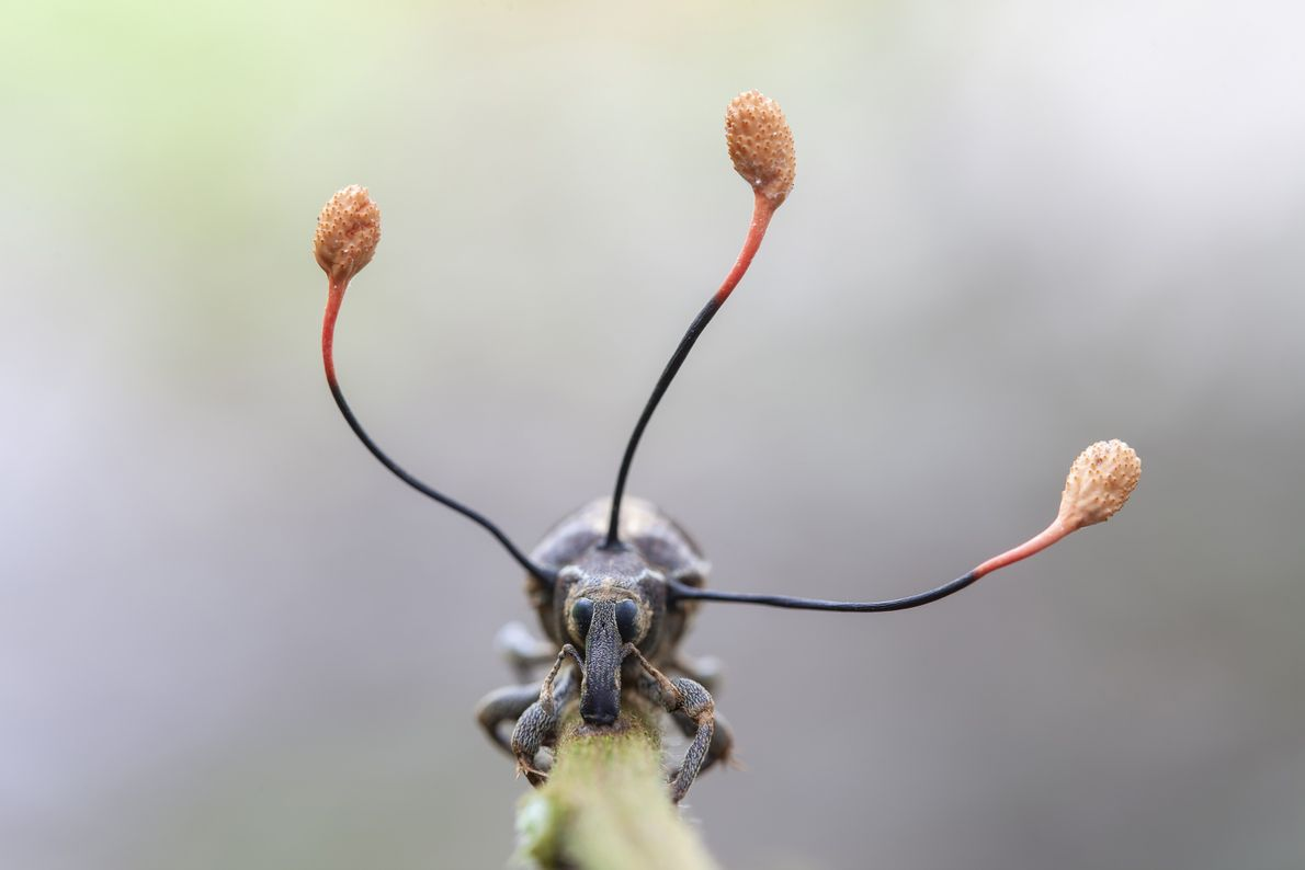 A festive-looking insect hides a sinister secret: the insect is dead. The antennae emerging from its ...