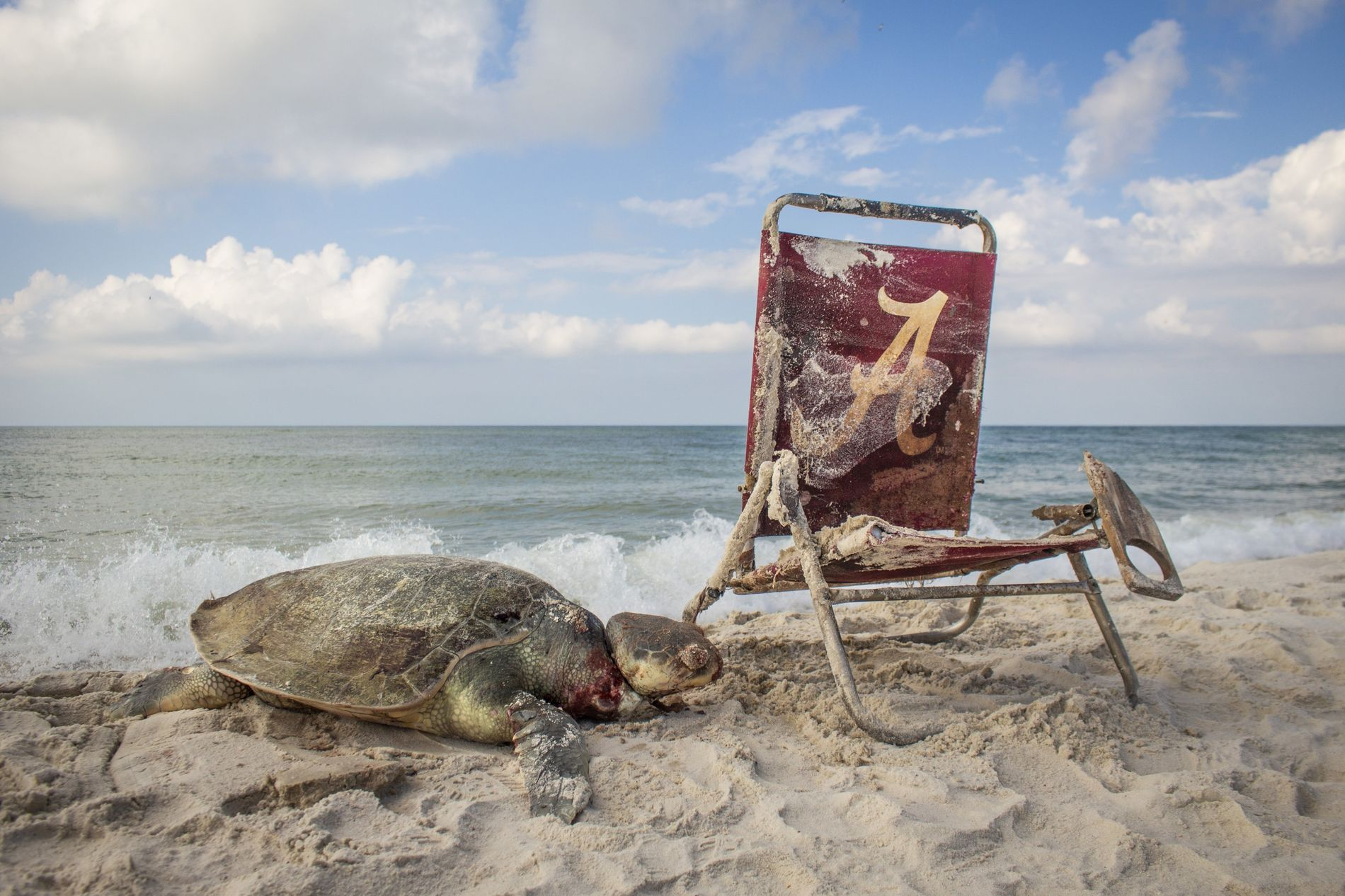 Found and photographed on Bon Secour National Wildlife Reserve in Alabama, this Kemp's sea turtle – ...