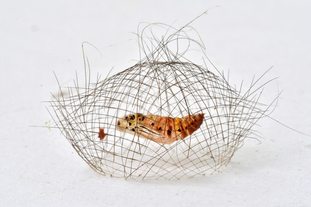 A Cyna moth pupae rests in a delicate cocoon net, before emerging as a white, red ...