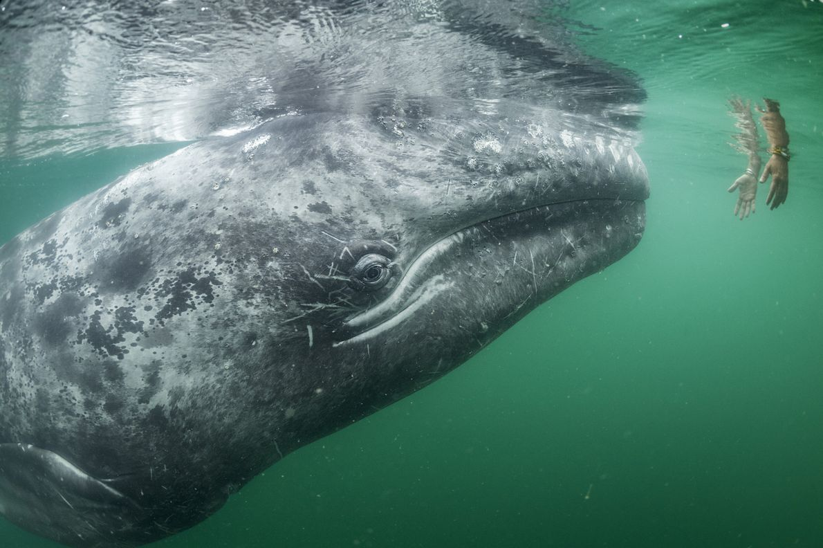 National Geographic photographer Thomas P Peschak's image captures a young grey whale rising to meet human ...