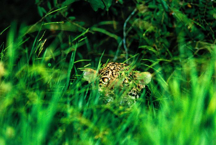 """""""The most scared I had ever been in my life."""" A jaguar's eyes catch the flash ..."""