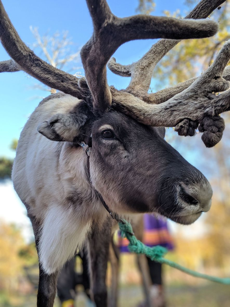 Angel, the Oskal family's favourite reindeer, at their homestead in Saltfjellet, Northern Norway