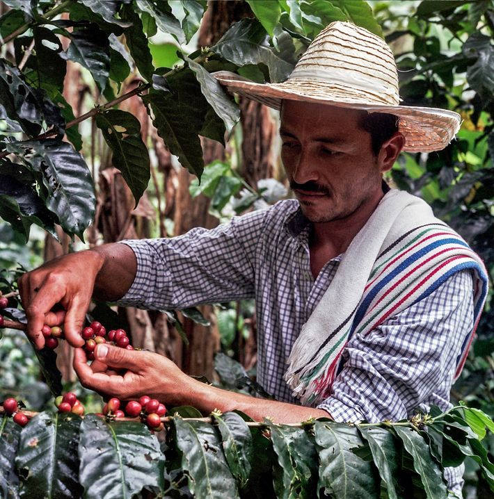 Continuing Caquetá's coffee revival