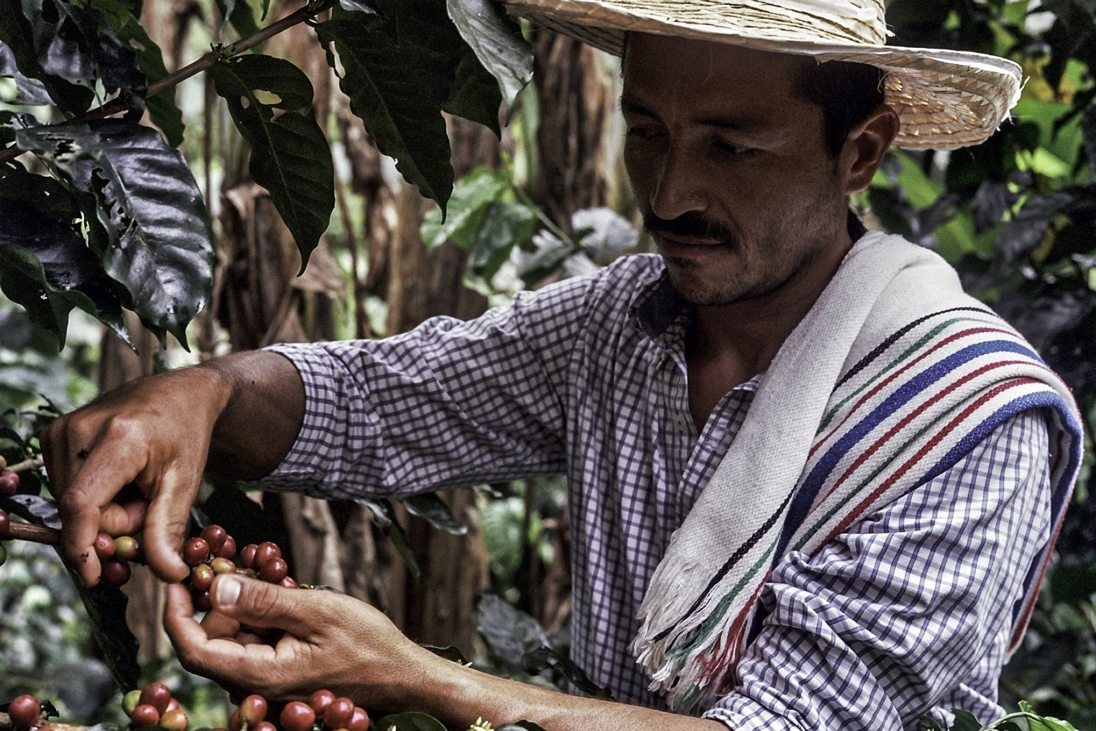 Caquetá farmer Don Fernando continued to grow coffee despite living in a region ravaged by conflict. ...
