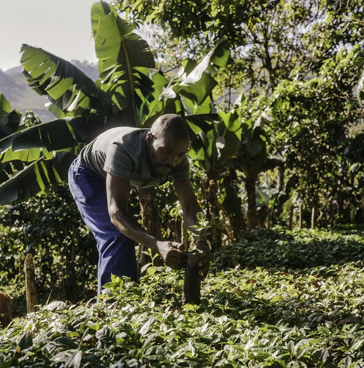 Growing coffee for brighter futures in Zimbabwe