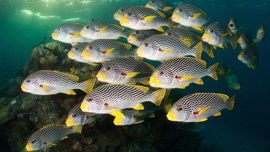 Schools of sweetlips swim the Great Barrier Reef. Australia is one of the nations committing to ...