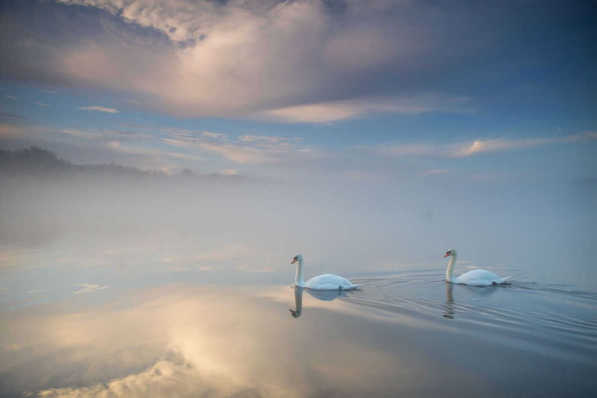 Two mute swans float on a lake at sunrise in London.