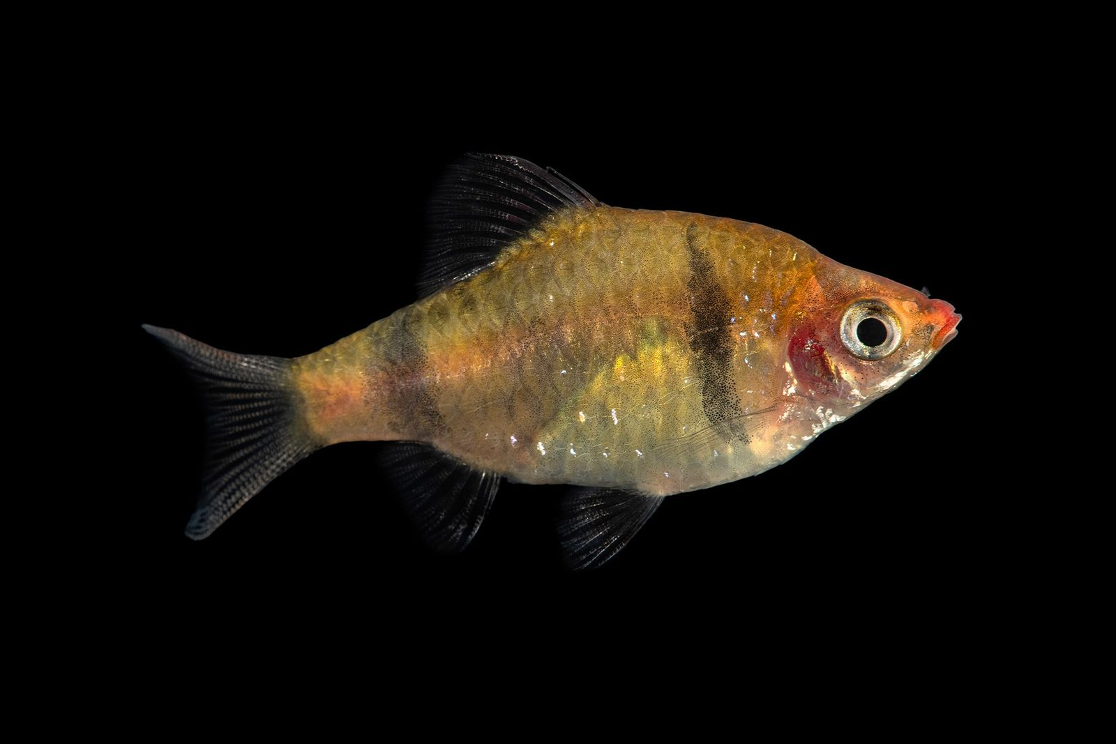Colourful fish makes a splash as the 9,000th animal in our Photo Ark