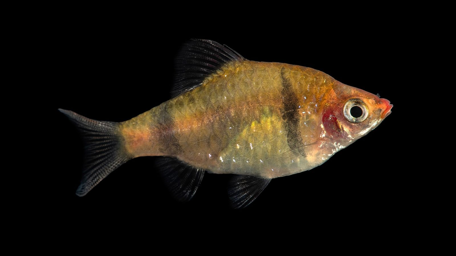 The Bandula barb, 'Pethia bandula', photographed at Zoo Plzeň in the Czech Republic. This freshwater fish ...