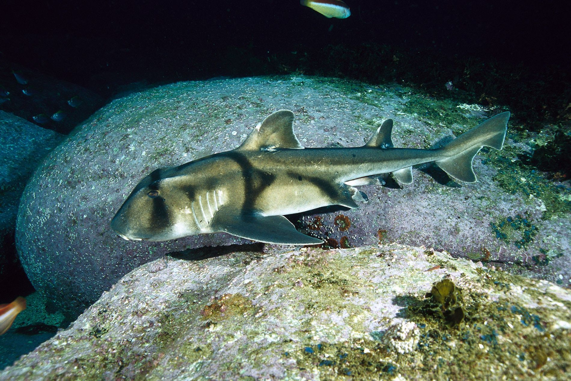 Sharks Prefer Jazz to Classical Music