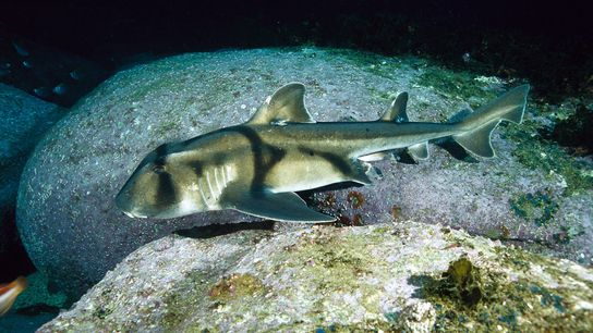 A Port Jackson shark swims by in New South Wales.