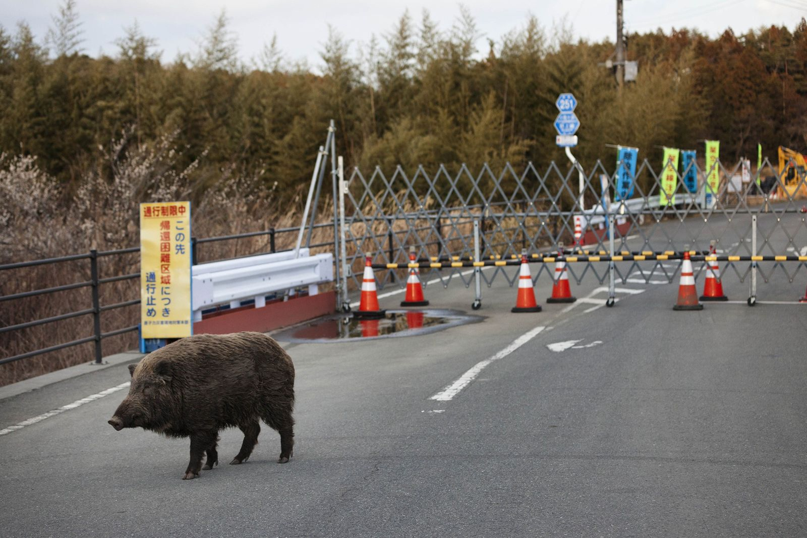 A wild boar roams a road in the deserted exclusion zone surrounding Fukushima Daiichi nuclear power ...