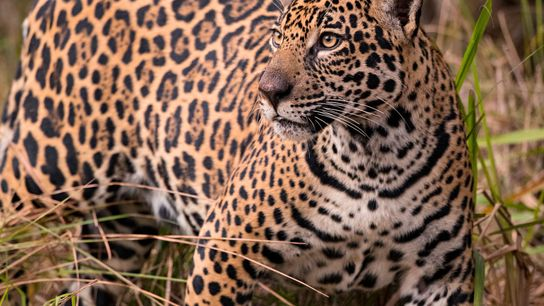 Conservationist and biologist Alan Rabinowitz first learned to talk by speaking to jaguars. He dedicated his ...
