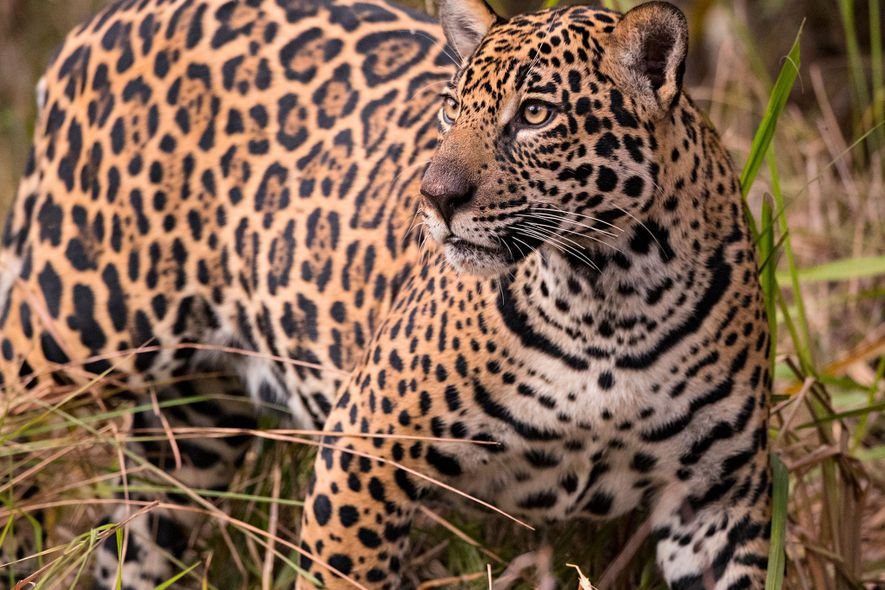 Alan Rabinowitz, Wild Cats' Champion and Protector, Dies