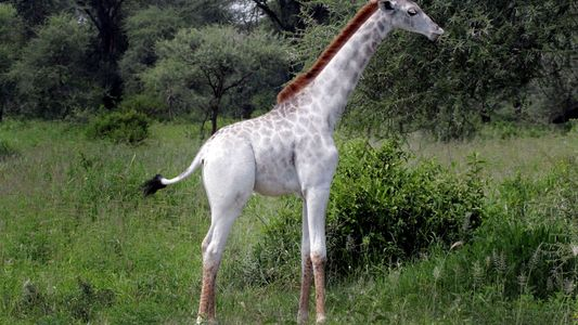 Pictures: Rare White Giraffe and Other Unusually Pale Animals