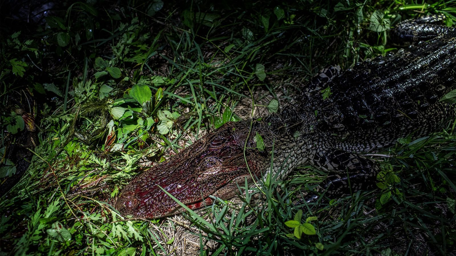 Fifty years ago American alligators were hunted so heavily that they were classified as an endangered ...