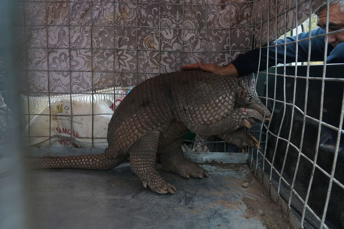 This armadillo was rescued from the fire zones around Santa Cruz, Bolivia, and treated in a ...