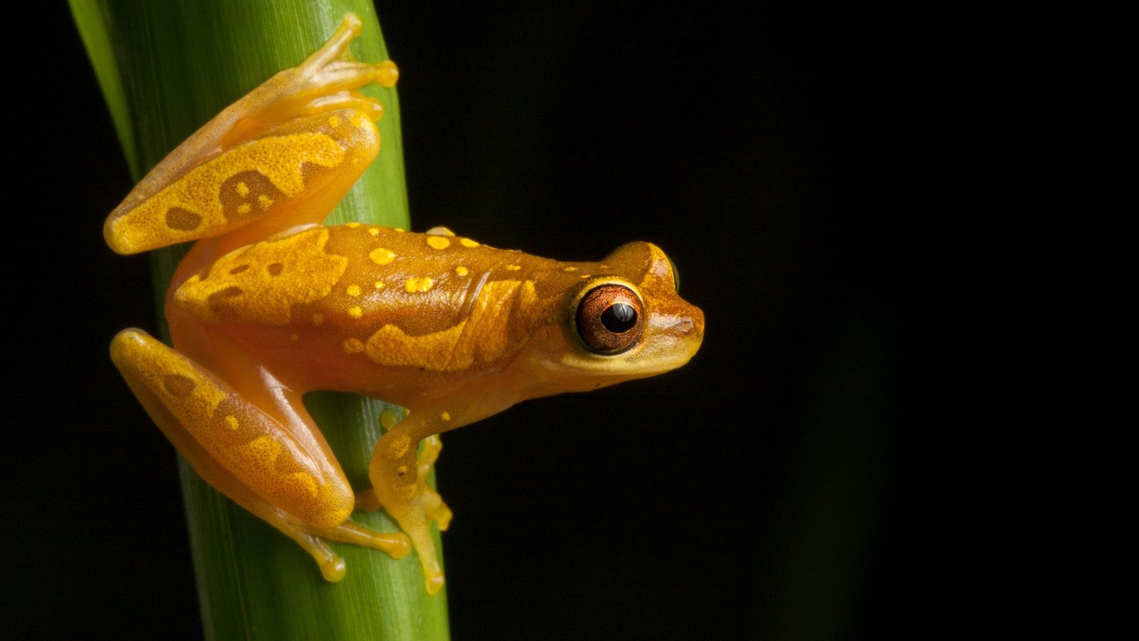 Many amphibian species, including hourglass tree frogs such as the one pictured here in Costa Rica, ...