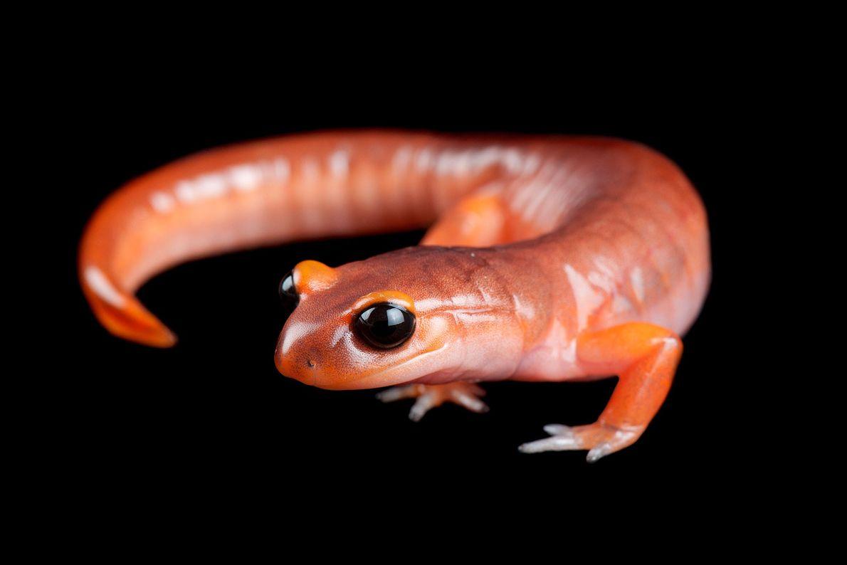 An ensatina salamander, ('Ensatina eschscholtzii eschscholtzii').