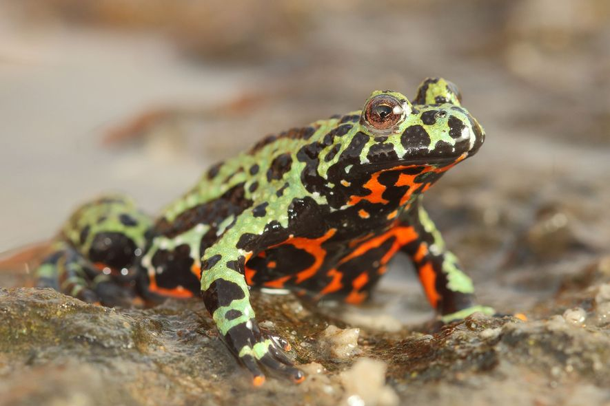 A captive Oriental fire-bellied toad ('Bombina orientalis') imported into Europe from South Korea. The global pet ...