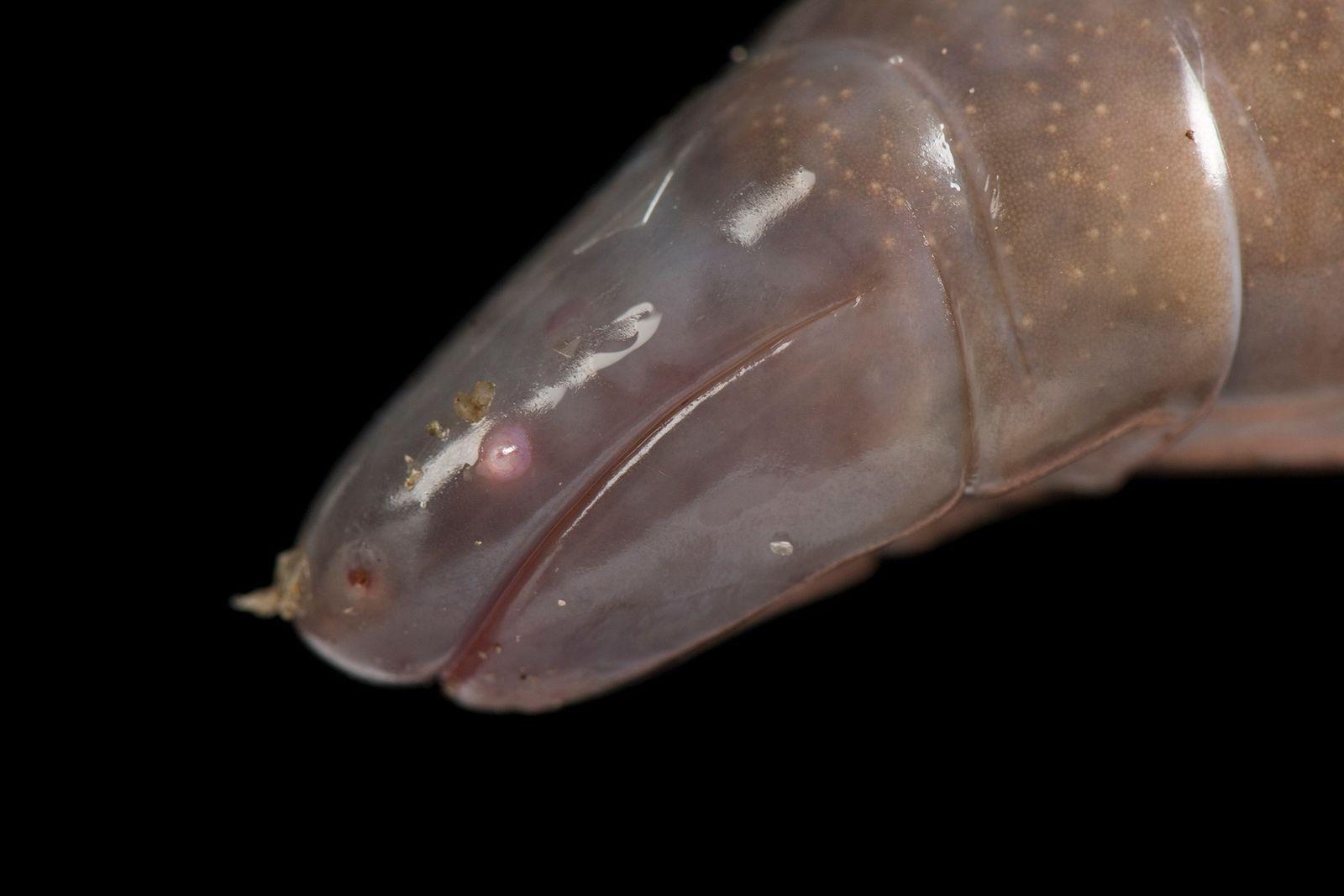These worm-like amphibians may have venomous saliva