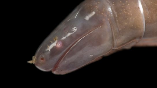 The Mexican caecilian (above, an individual kept at the St. Louis Zoo in Missouri) is one ...