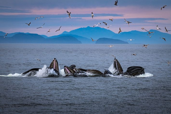 Humpback whales create bubble nets off Alaska, where the behaviour is frequently observed and studied.