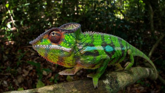 The panther chameleon, native to Madagascar, can transform into a rainbow of colours.