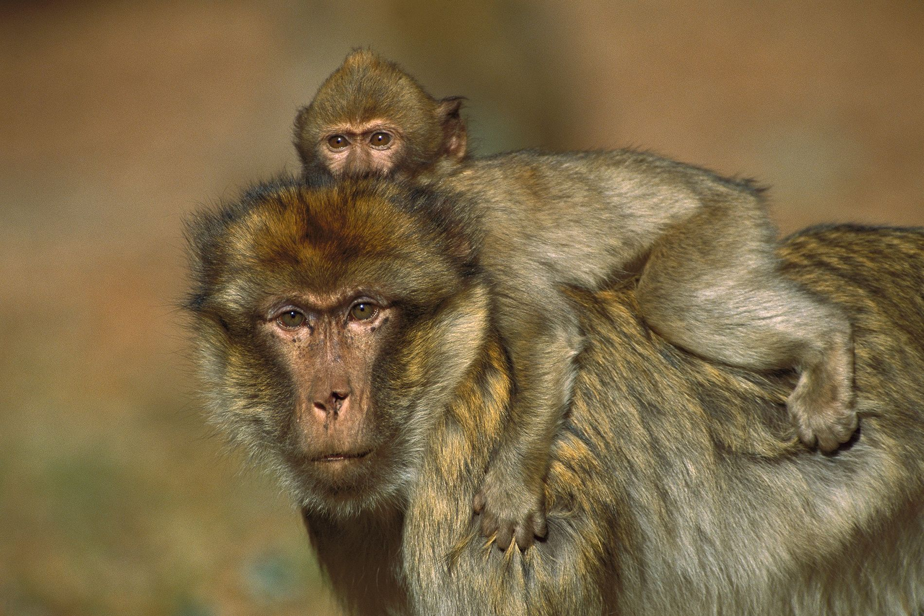 For male barbary macaques, carrying an infant helps build social bonds with other males. Sometimes, a macaque will carry around any available infant, even if it's not his own.