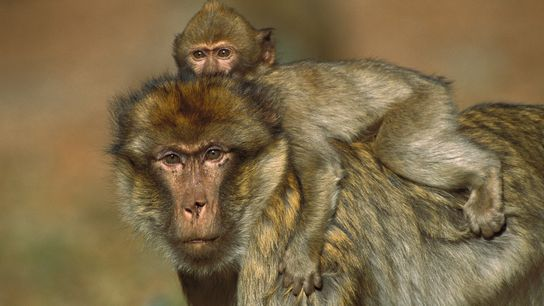 For male barbary macaques, carrying an infant helps build social bonds with other males. Sometimes, a ...