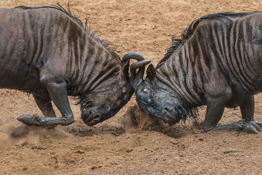 Two wildebeest lock horns.
