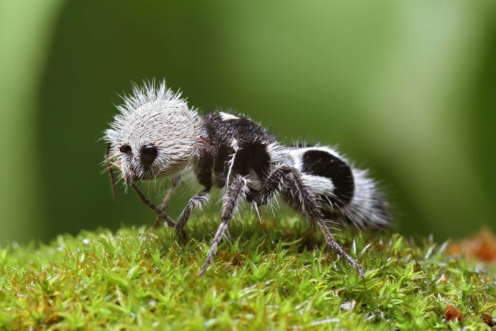 The panda ant is neither a panda nor an ant—it's a wasp native to Chile.