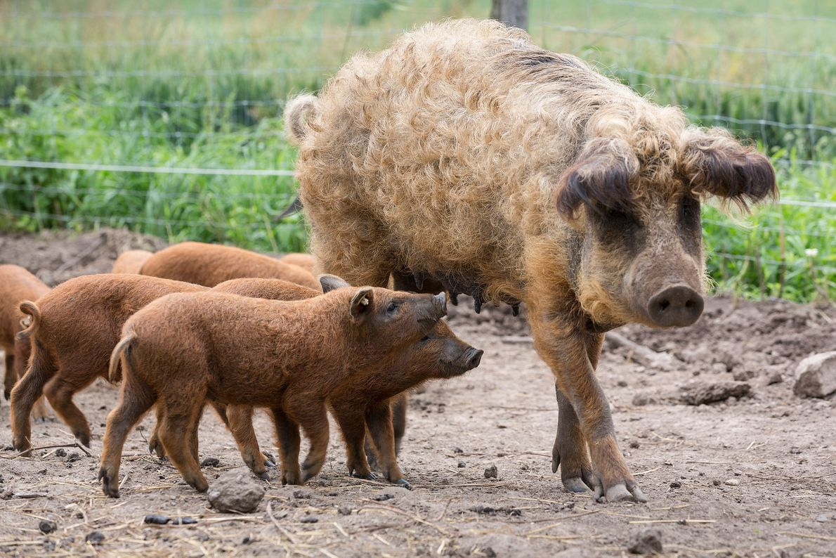 Mangalitsa piglets, otherwise known as wool pigs, follow their mother in Germany.