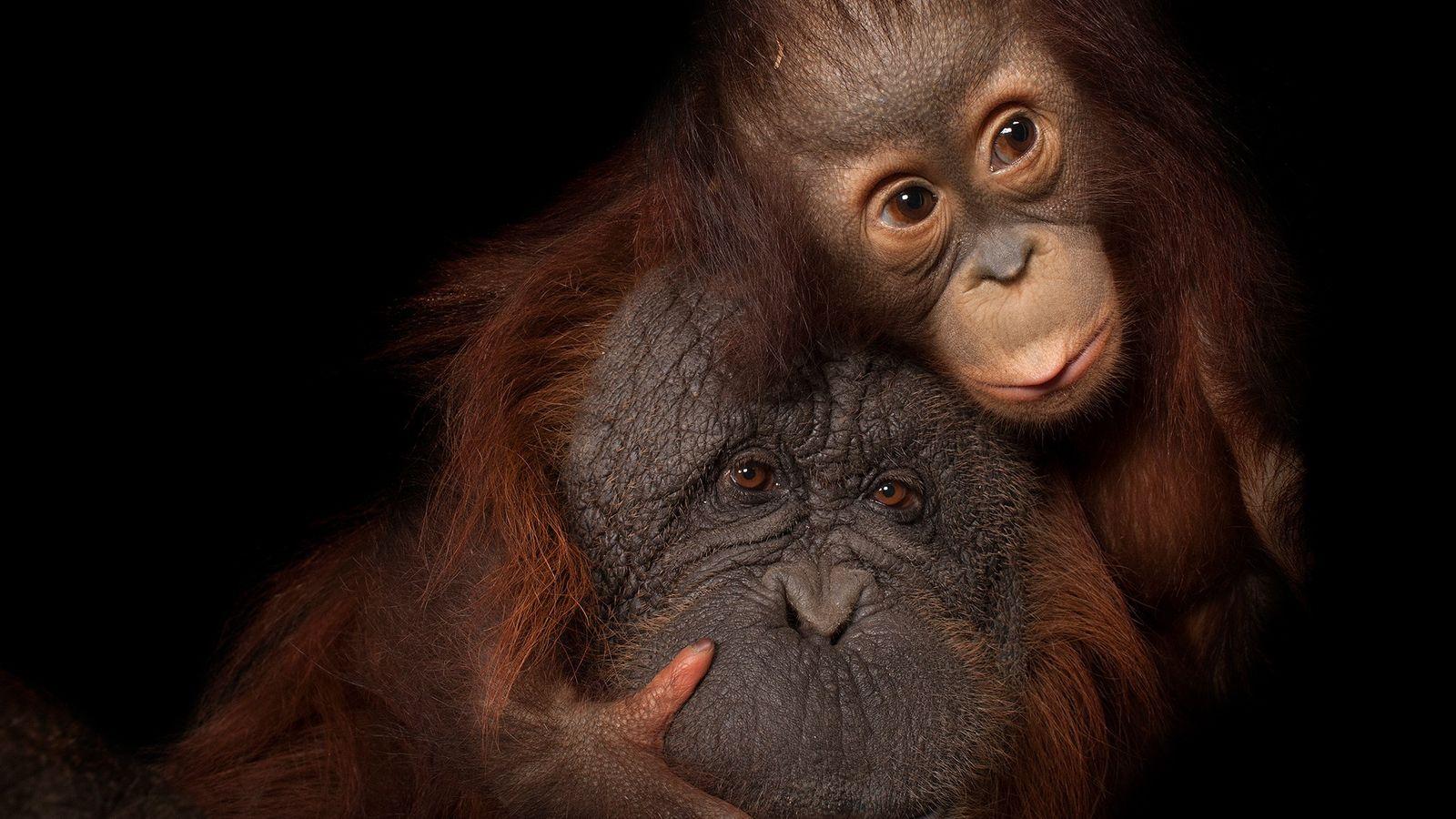 While baby orangutan Aurora snuggles with adoptive mom Cheyenne at the Houston Zoo, deforestation and poaching ...