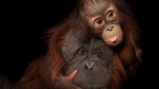 While baby orangutan Aurora snuggles with adoptive mom Cheyenne at the Houston Zoo, deforestation and poaching ...