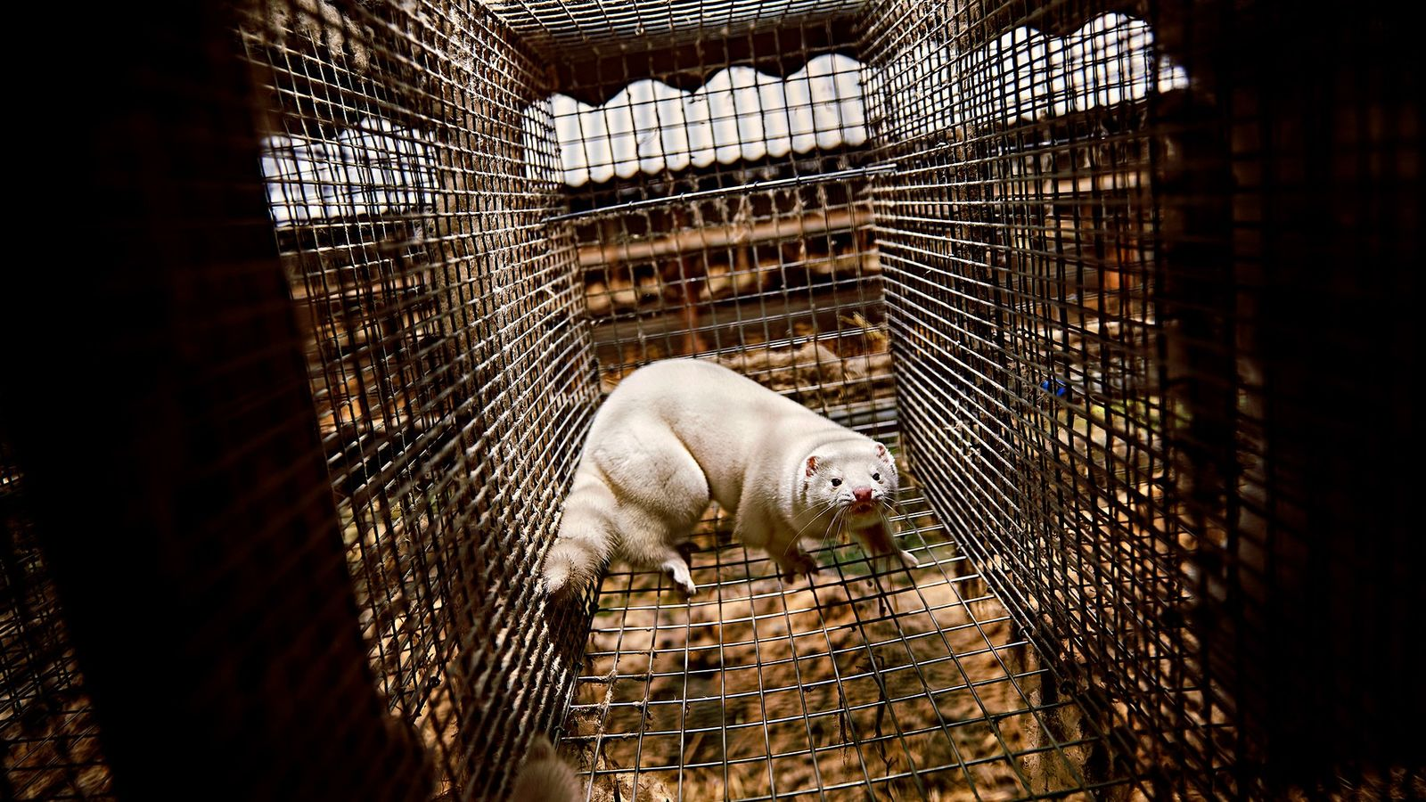 Dutch officials say that a mink at a fur farm in the Netherlands may have transmitted ...