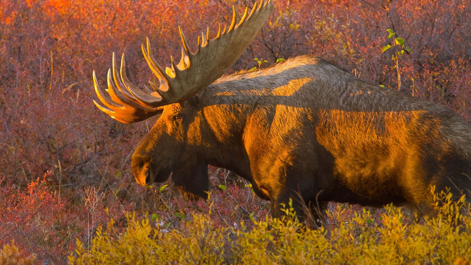 A male moose emerges from the bushes during fall rutting season on the Alaska tundra.