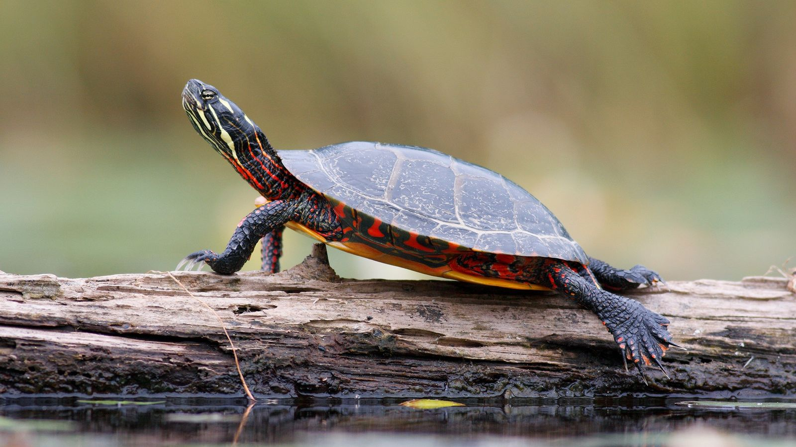 A painted turtle sunbathes on a log in West Stoney Lake, Nova Scotia.
