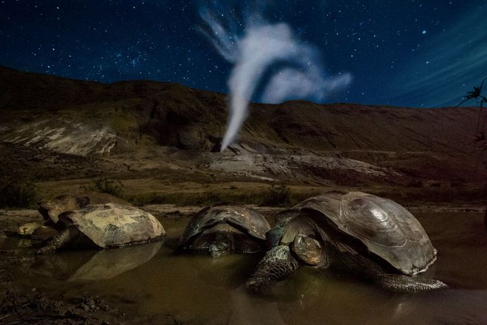 Galapagos giant tortoises rest in a pool of mud in Volcan Alcedo's crater on Isla Isabela. ...