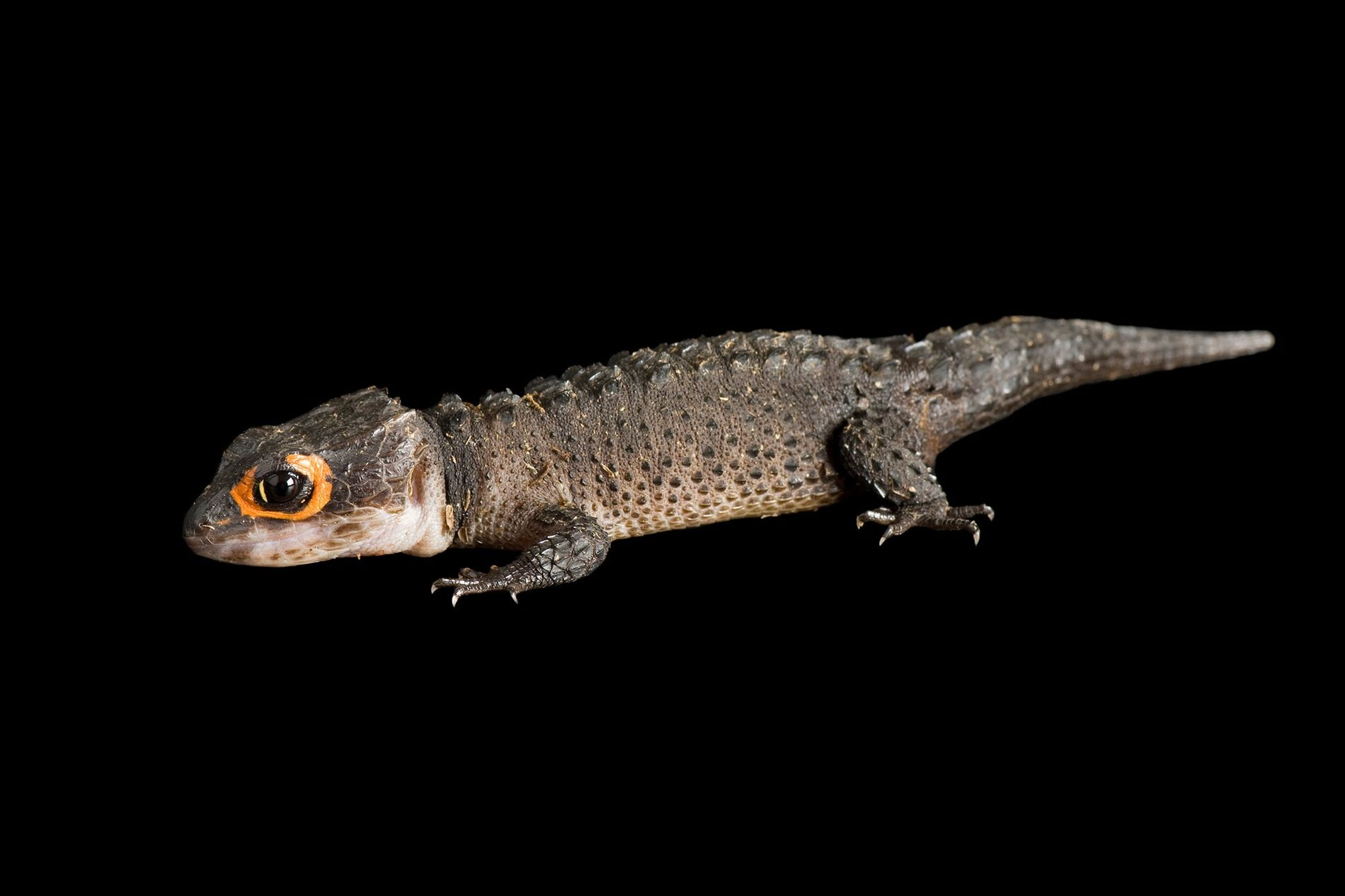 Crocodile skinks have become popular pets, yet no one knows how many of these small lizards ...