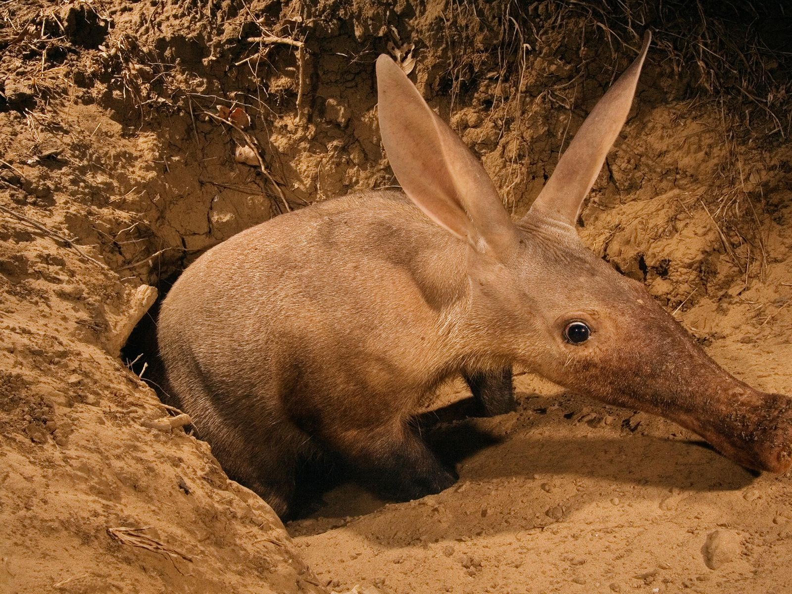 An aardvark emerges from the ground in Luangwa Valley, Zambia. These unique mammals are related to ...
