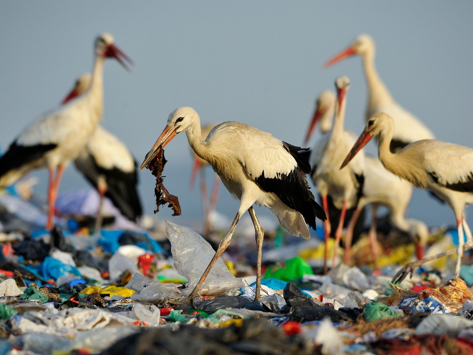 White storks forage at a landfill in Spain. The amount of garbage is such that the ...