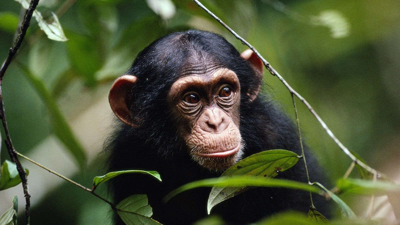 Chimpanzees have been observed attacking and ousting fellow chimps with visible illnesses.