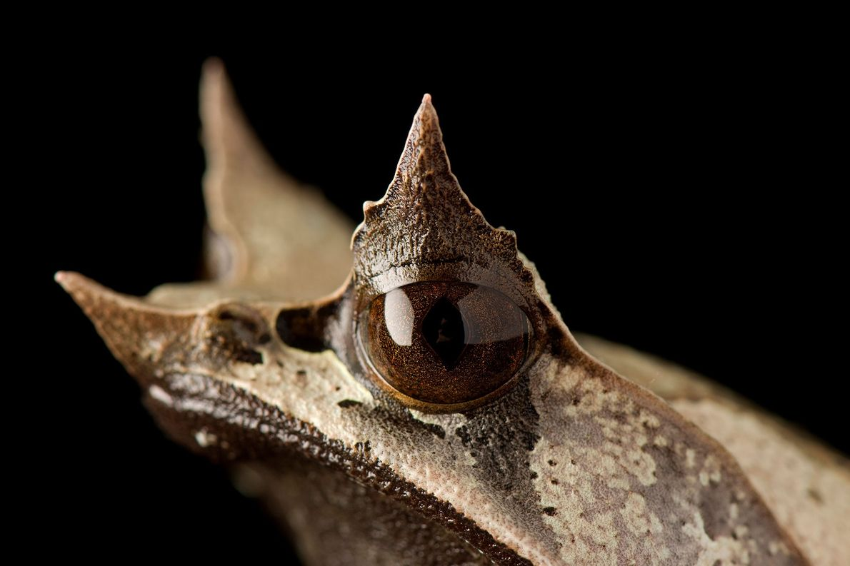 The upper eyelids and snout of the Malaysian horned leaf frog protrude sharply from its head, ...