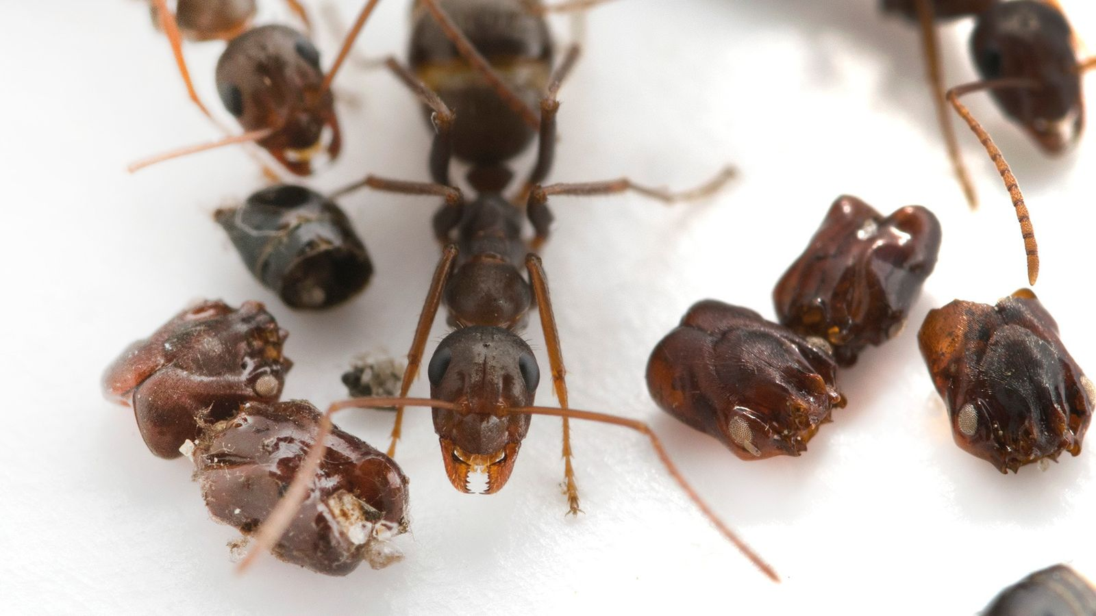 This ant native to Florida ('Formica archboldi') collects the skulls of its enemies—but scientists still aren't ...