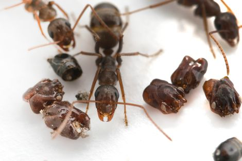 These ants decorate their homes with the heads of their enemies