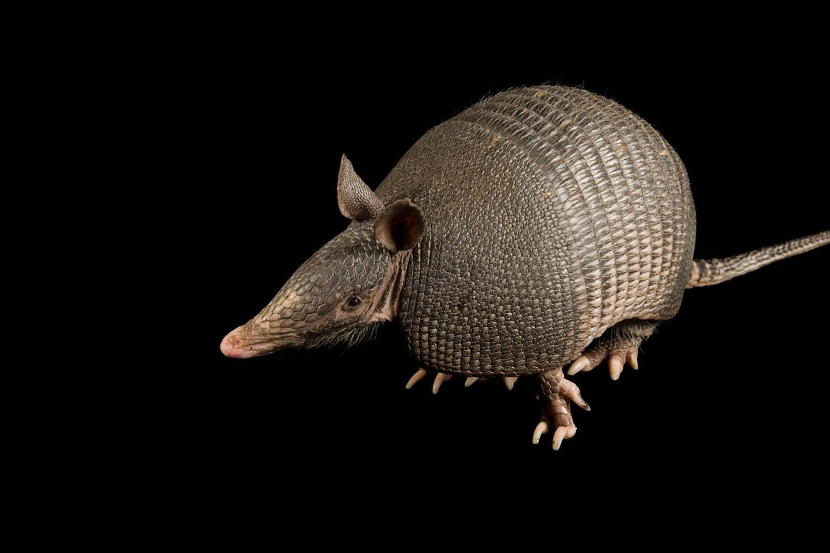 Humans Gave Leprosy to Armadillos. Now, They're Giving It Back